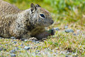 Free Ground Squirrel Royalty Free Stock Image - 2660356