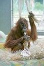 Free Orangutan 4 Stock Images - 2663394