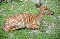 Free Antelope 3 Stock Photos - 2663993