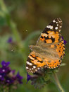 Free Painted Lady Royalty Free Stock Images - 2664659