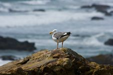 Free Seagull On The Beach Royalty Free Stock Images - 2660329