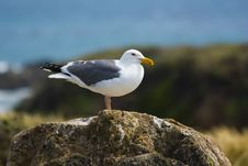 Free Seagull On The Beach Stock Photo - 2660370