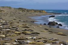 Free Elephant Seal Pups Royalty Free Stock Image - 2660386
