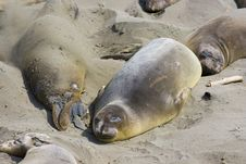 Elephant Seal Pups Royalty Free Stock Photos