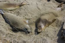 Elephant Seal Pups Stock Photo