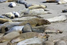 Elephant Seal Pups Stock Photography