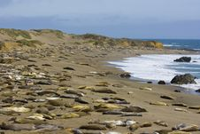 Elephant Seal Pups Royalty Free Stock Image