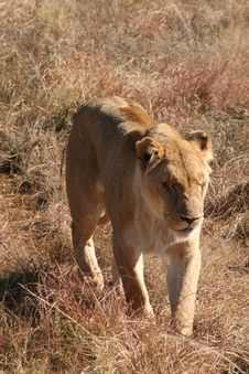 Free African Lion Stock Photo - 2660480