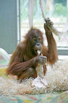 Orangutan 4 Stock Images