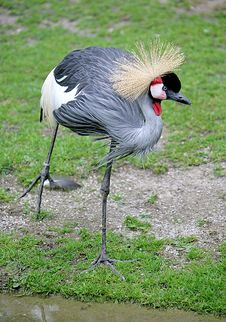 Free Golden Crowned Crane 1 Royalty Free Stock Images - 2663779
