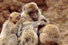 Free Female Monkey Giving Suck Royalty Free Stock Photos - 2664478