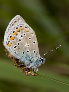 Free Common Blue Stock Image - 2664531