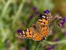 Free Painted Lady Stock Photography - 2664722