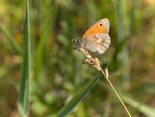 Free Small Heath Butterfly Royalty Free Stock Photography - 2664747