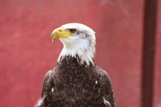 Free Bald Eagle 1 Royalty Free Stock Image - 2667726