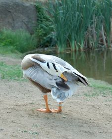 Free Goose 2 Stock Photos - 2668113