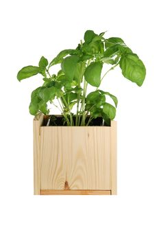 Free Basil In A Wooden Pot Stock Photos - 2669343