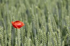 Free Poppy And Corn Filed Royalty Free Stock Photos - 2669888
