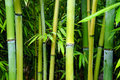 Free Green Bamboo Groves Stock Photos - 26600513