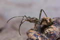 Free Assassin Bug Royalty Free Stock Photo - 26601465