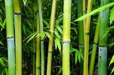 Free Green Bamboo Groves Stock Photos - 26600513