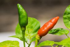 Free Red And Green Chillies Royalty Free Stock Photo - 26602405