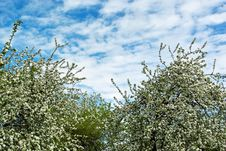 Free Trees In Spring Royalty Free Stock Photo - 26604835