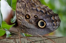 Free Idomeneus Giant Owl &x28;Caligo Idomeneus&x29; Royalty Free Stock Photography - 26609107