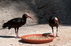Free Young Vultures Royalty Free Stock Photography - 26609287