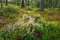Free Blooming Heather Royalty Free Stock Photography - 26610397