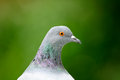 Free Grey Pigeon Close-Up Royalty Free Stock Photography - 26618697