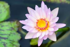 Free Top View Of Beautiful Pink Lotus Stock Images - 26610534