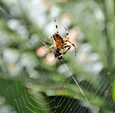 Free Spider And Prey Royalty Free Stock Image - 26610576