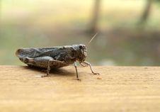 Free Grasshopper Closeup Stock Images - 26611244