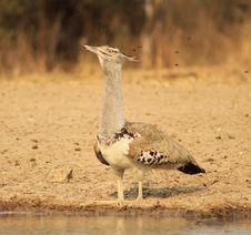 Free Kori Bustard - Natural Fly Trap Stock Image - 26613221