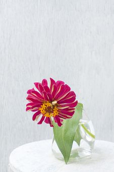 Free Bright Pink Flower Of Zinnia Stock Photo - 26614030