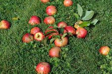 Free Apples On The Grass Royalty Free Stock Photos - 26614168