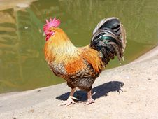 Free Beautiful Rooster Royalty Free Stock Photo - 26615895