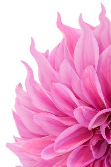 Pink Dahlia Flower With Curly Petals Stock Photos