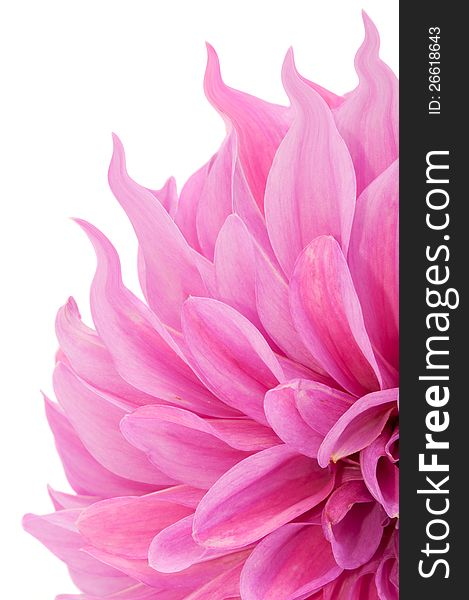 Pink Dahlia Flower with Curly Petals