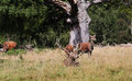 Free Red Deer In An English Park Royalty Free Stock Photos - 26623588