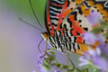 Free Lacewing Butterfly Royalty Free Stock Photo - 26627595