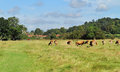 Free Grazing Cattle In An English Meadow Royalty Free Stock Photography - 26628617