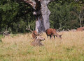 Free Red Deer In An English Park Stock Photography - 26628662