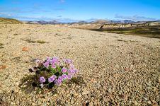 Free Landmannalaugar Mountains With Flowers Stock Photography - 26622962