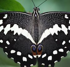 Free Citrus Swallowtail Butterfly  &x28;LXXX&x29; Royalty Free Stock Image - 26626206