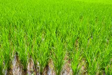 Free Rice Field Royalty Free Stock Image - 26627456