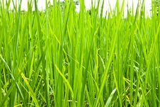 Free Rice Field Stock Images - 26627494