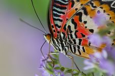 Lacewing Butterfly Royalty Free Stock Photo