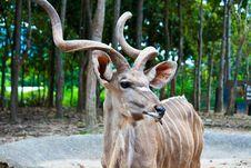 Free Kudu Antelope Royalty Free Stock Image - 26629726
